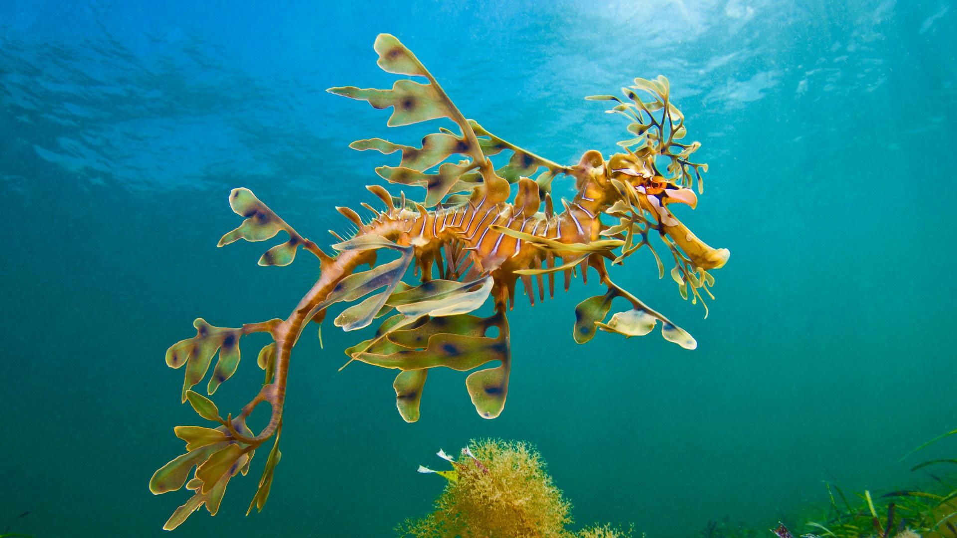 High Resolution Seahorse Wallpaper