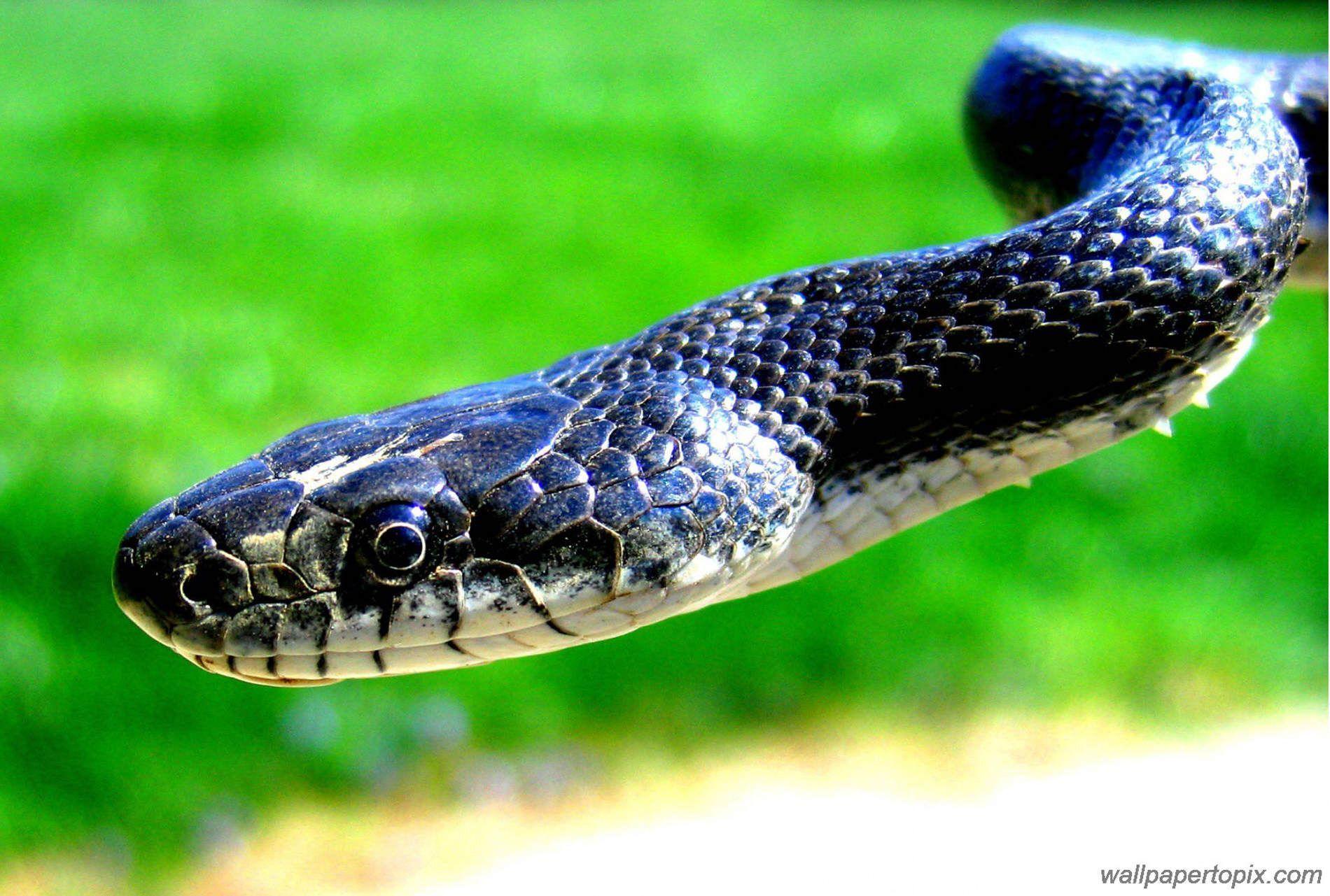 Black Snake Wallpapers Group 78+