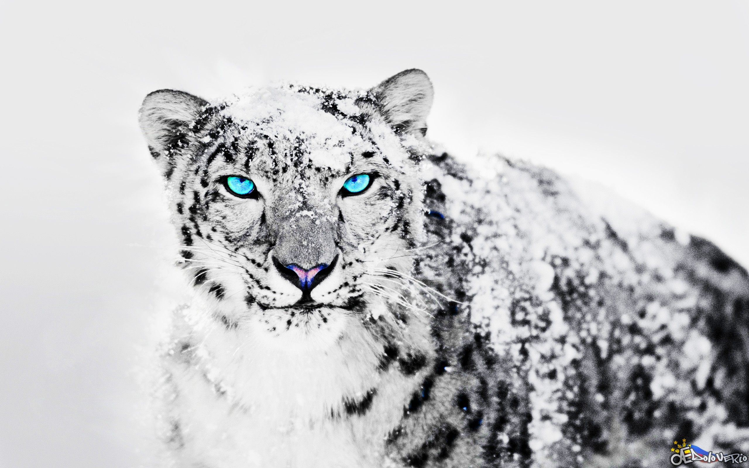 Snow Leopard Backgrounds Posted By Christopher Anderson