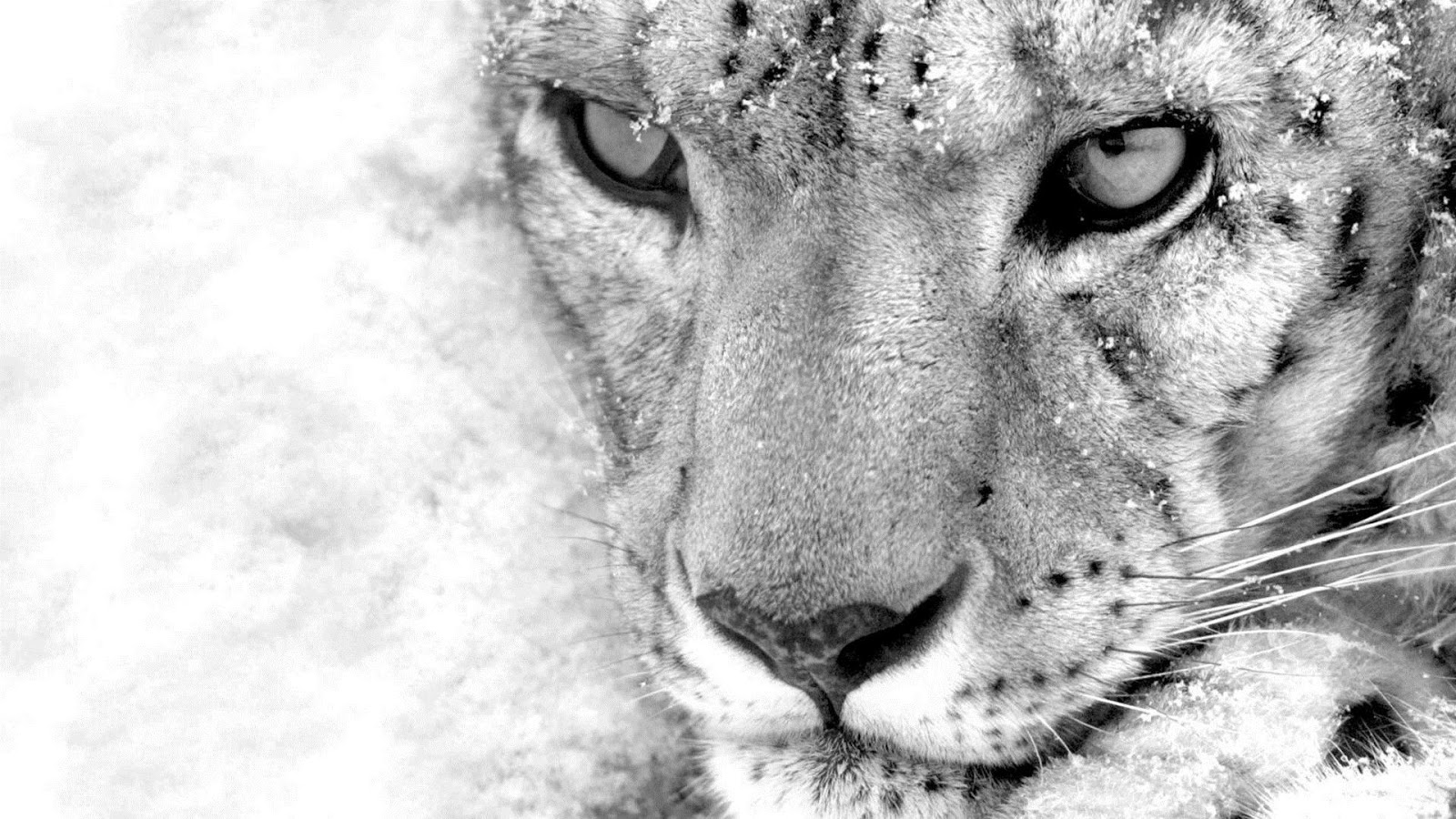 Snow Leopard Desktop Wallpaper Posted By Zoey Tremblay