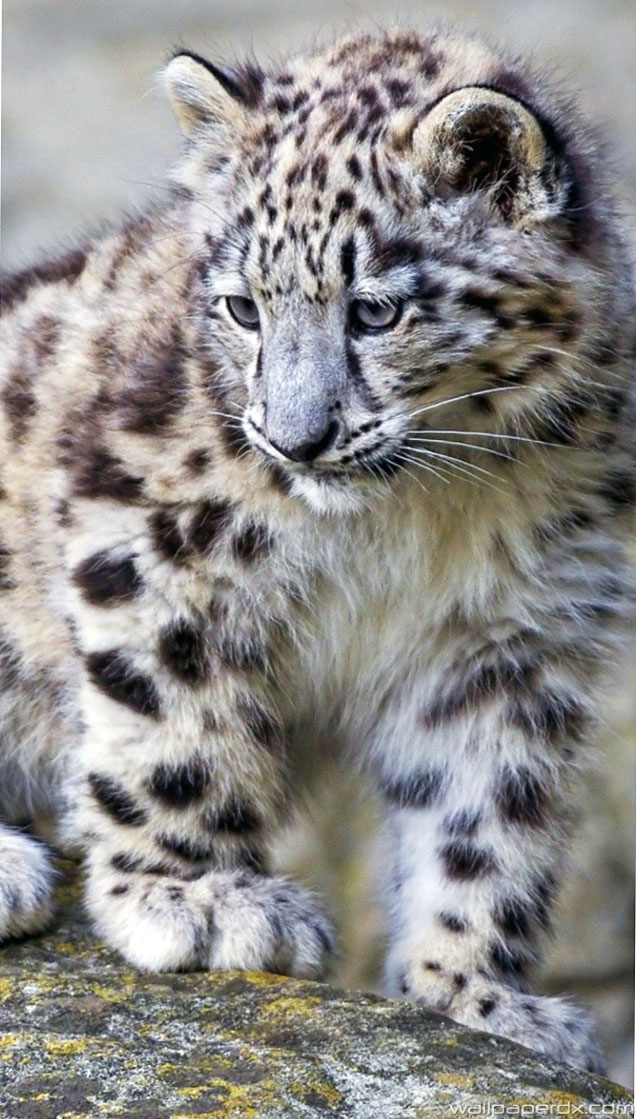 Snow Leopard Wallpaper Hd Posted By Ethan Anderson