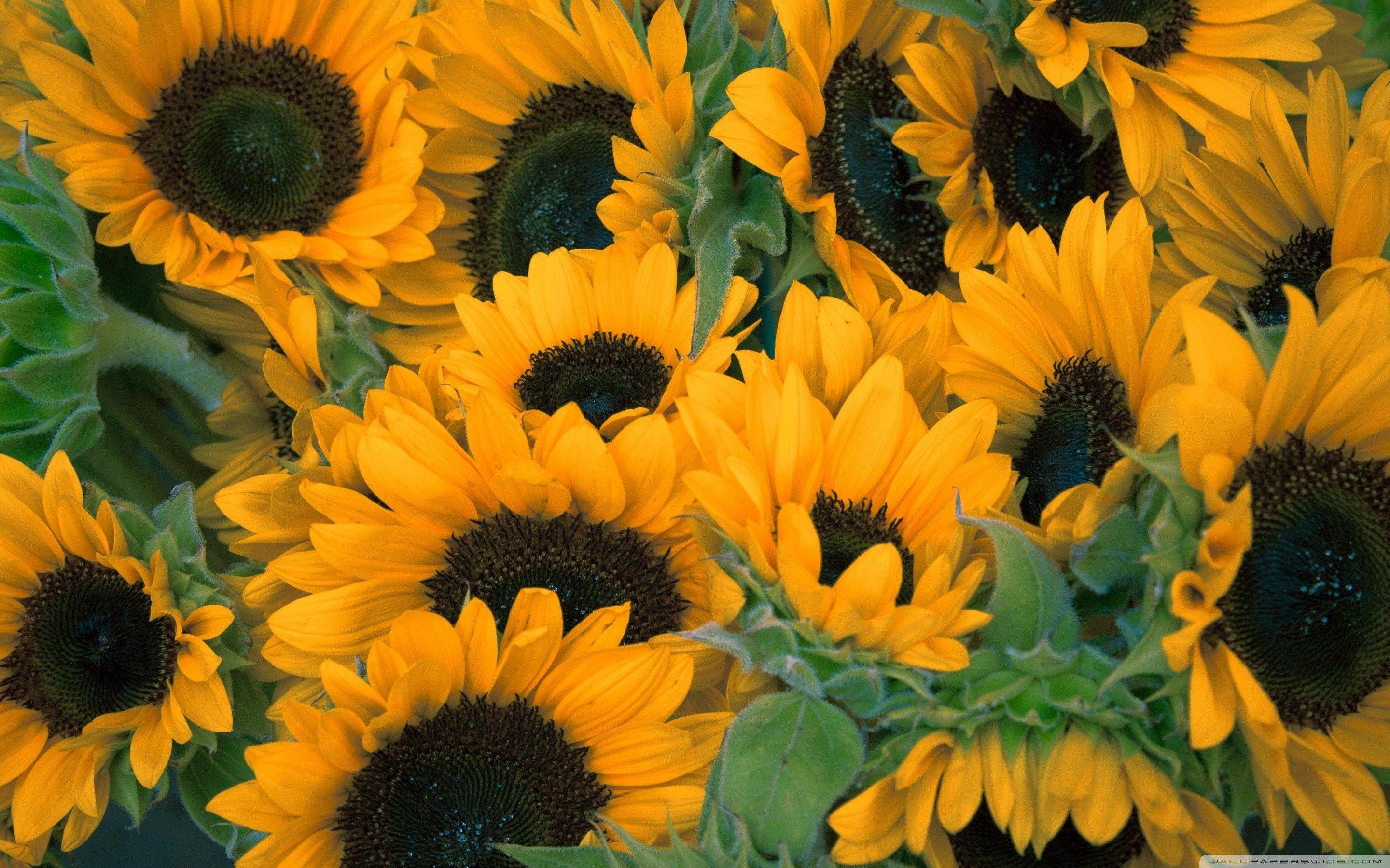 Sunflower Background Images Posted By Ethan Peltier