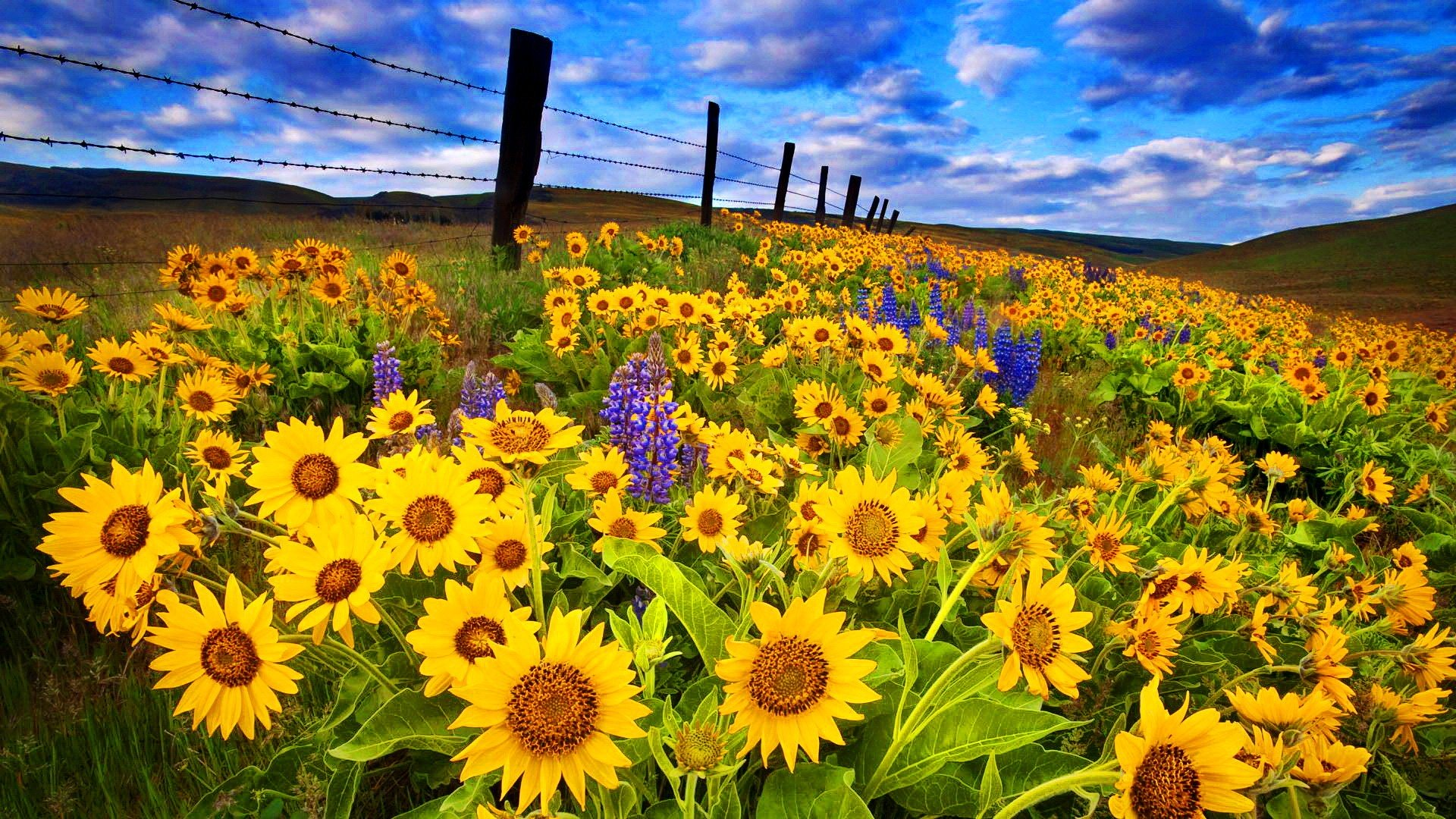 Sunflower Desktop Backgrounds Posted By Ryan Thompson