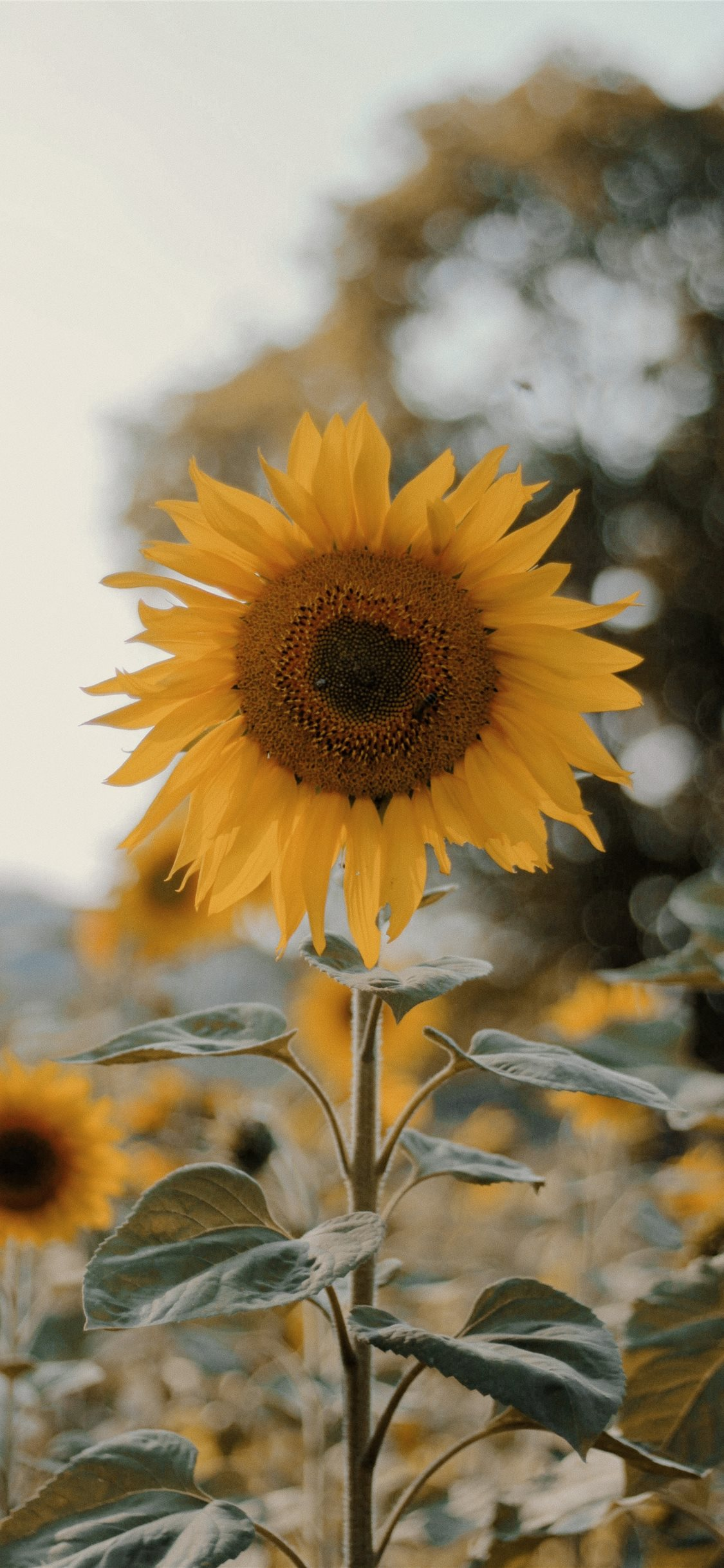 Sunflower Iphone Wallpapers Posted By Michelle Thompson