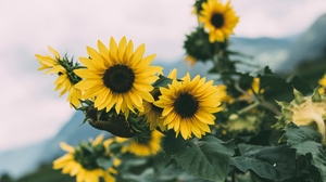 Sunflower Laptop Background Posted By Ethan Cunningham