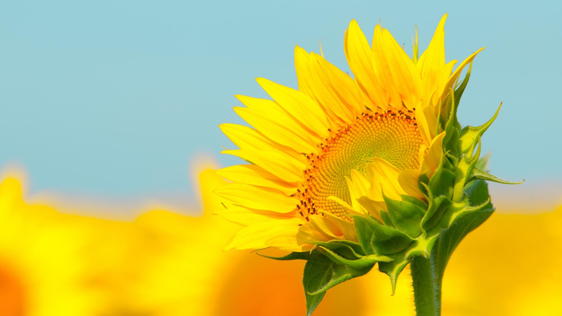 1920x1080 Sunflowers Macro 1080P Laptop Full HD Wallpaper