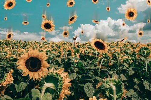 250+ Engaging Sunflowers Photos Pexels Free Stock Photos
