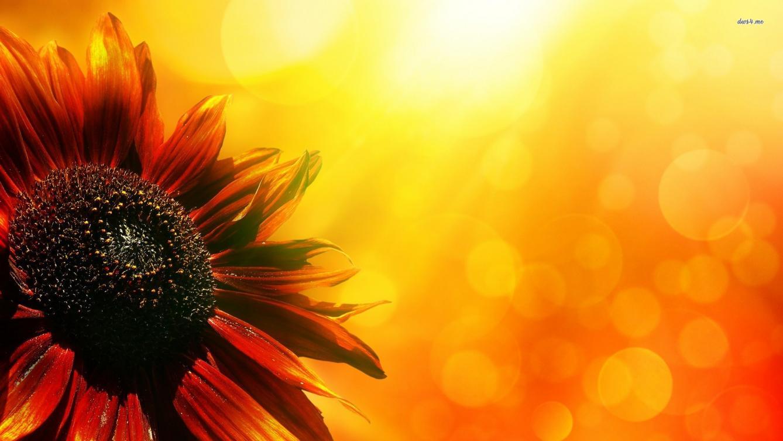 Sunflower Laptop Wallpaper Posted By John Mercado