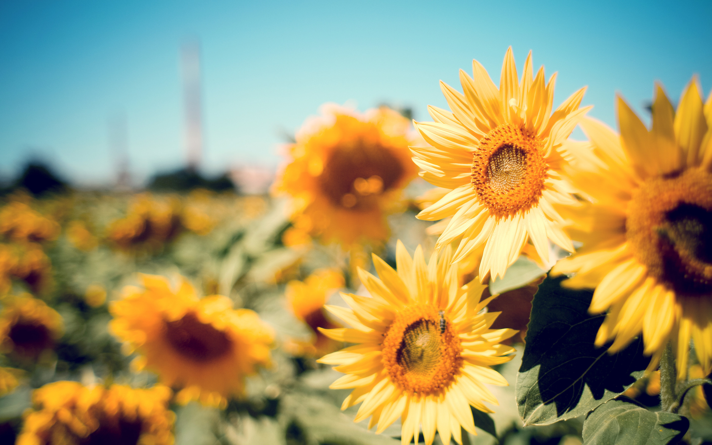 Sunflower Wallpapers 72+ images