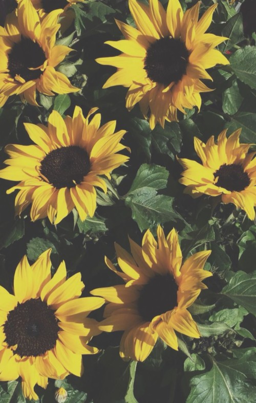 Sunflower Macbook Wallpaper Posted By Ryan Thompson
