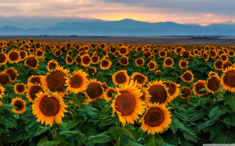 Sunflower Field, Sunset, Colorado 4K HD Desktop Wallpaper