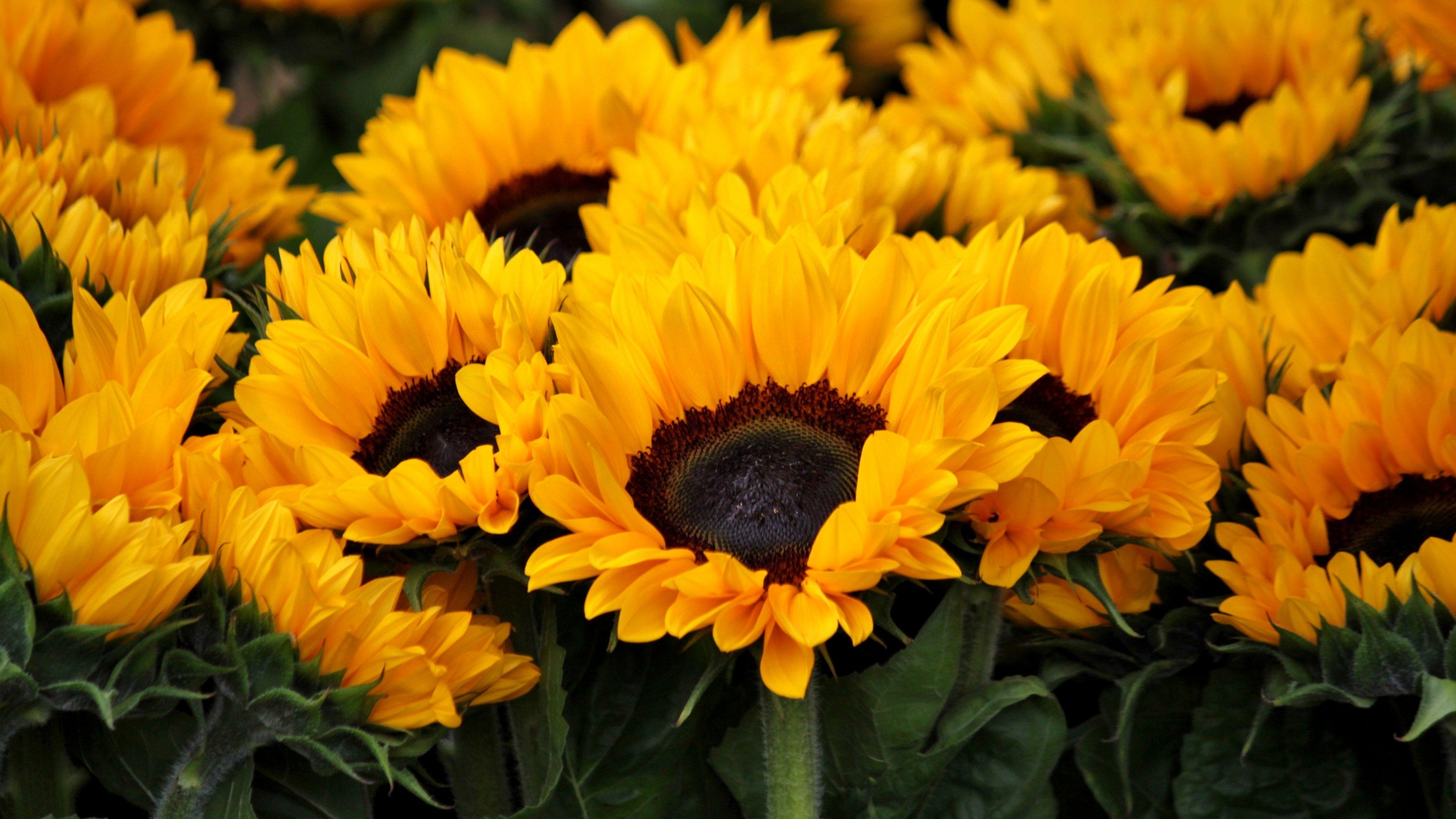 Sunflower Wallpaper Desktop Posted By Ryan Mercado