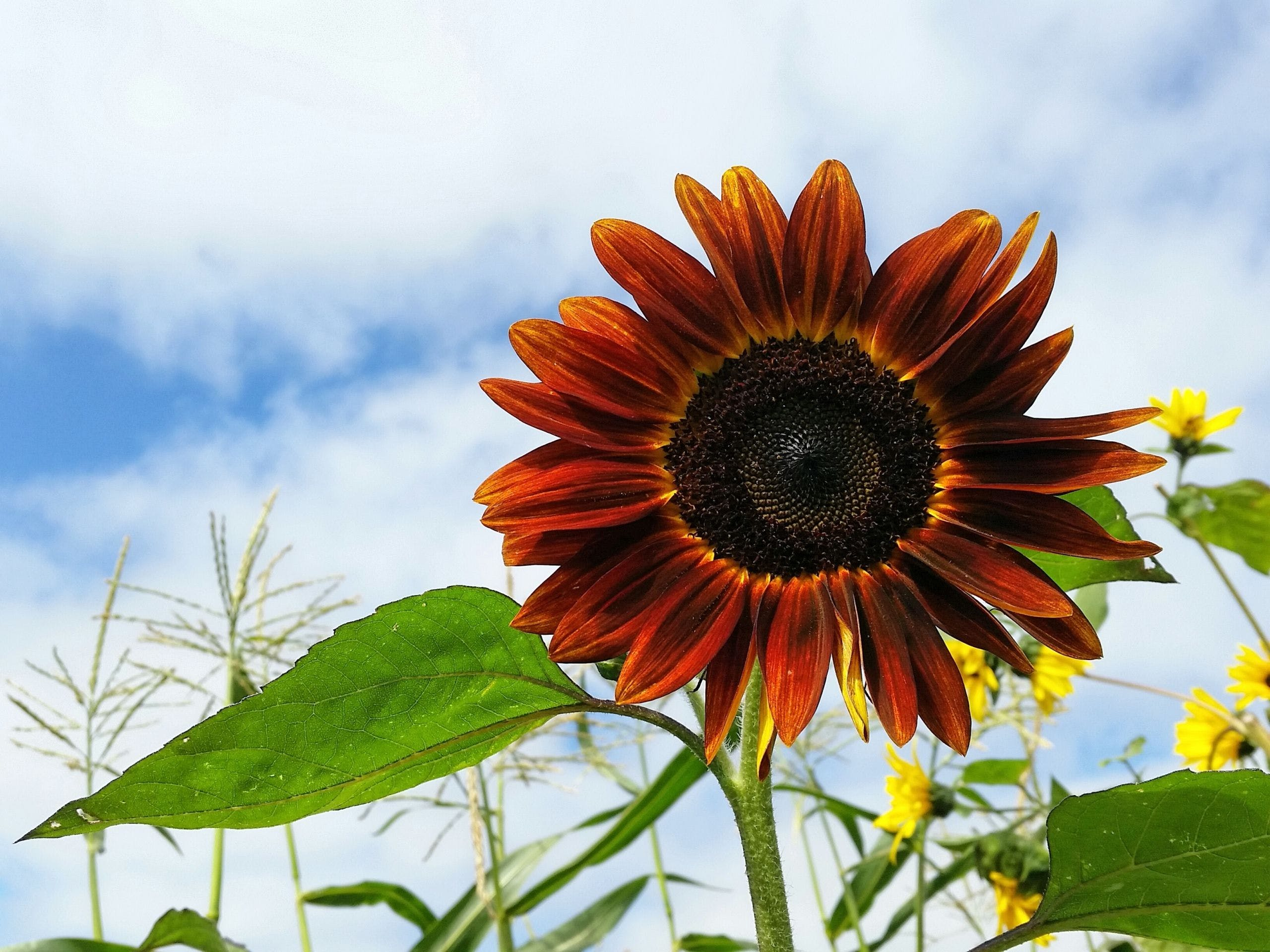 Sunflower Wallpapers Posted By Samantha Cunningham