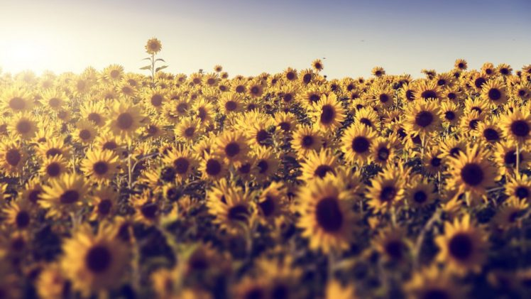 Sunflowers Desktop Background Posted By John Tremblay