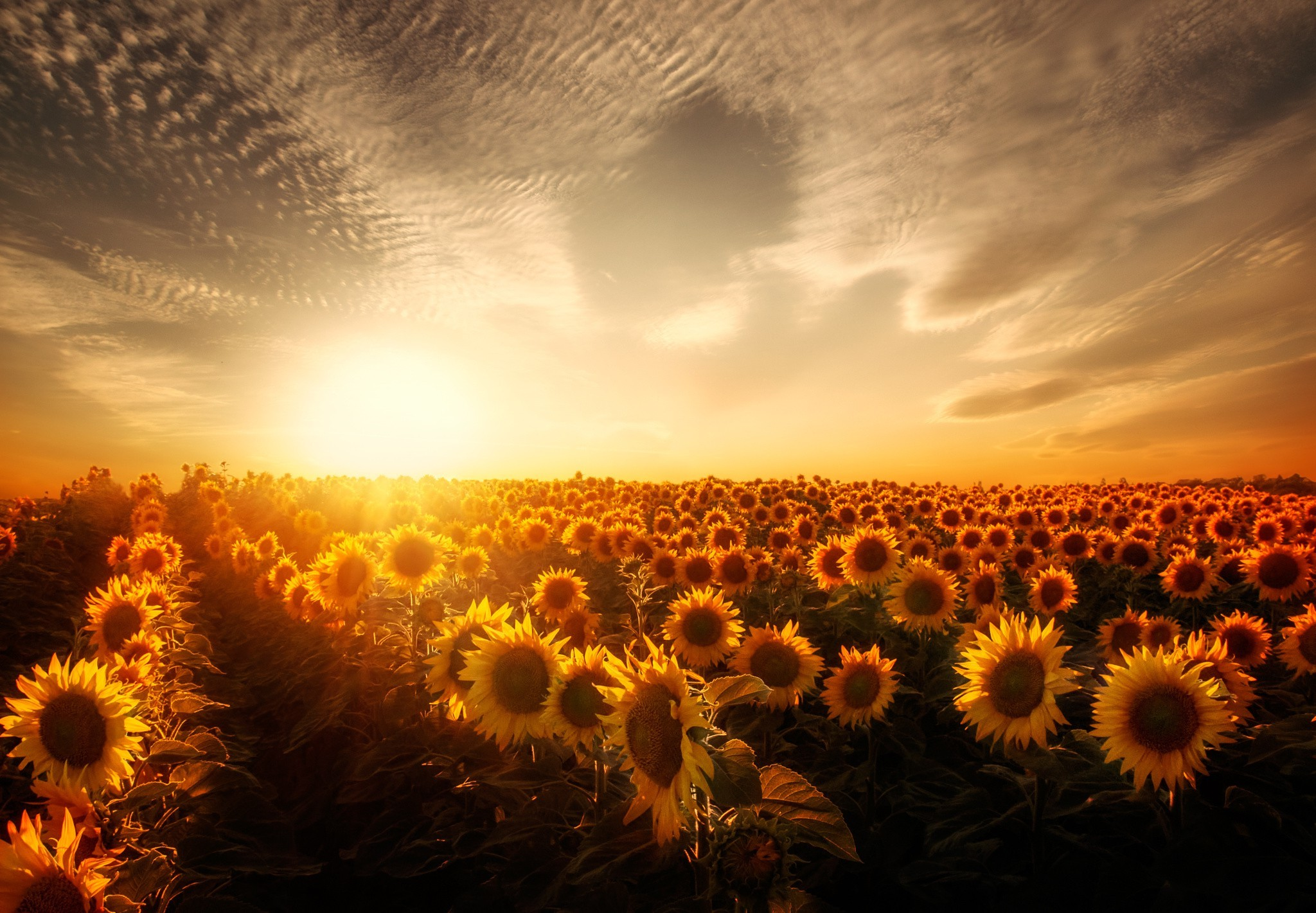 Sunflowers Sunset, HD Nature, 4k Wallpapers, Images
