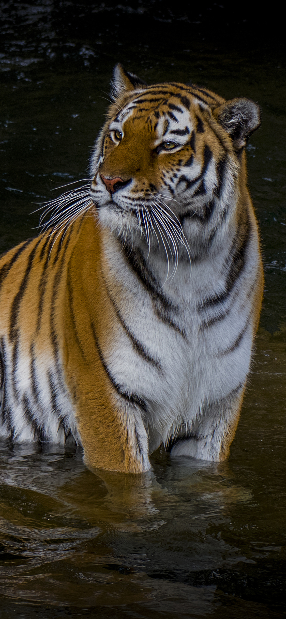 Tiger Iphone Wallpaper Posted By Christopher Anderson