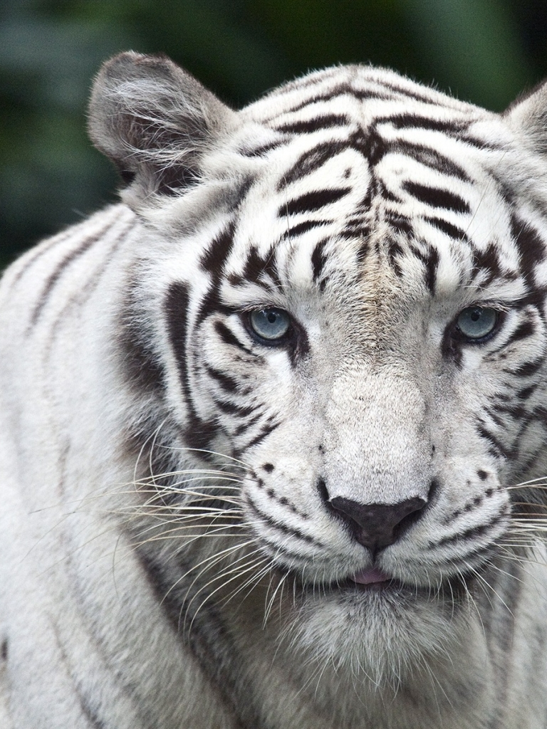 Free download White Tiger Wallpaper 3d wallpaper wallpaper