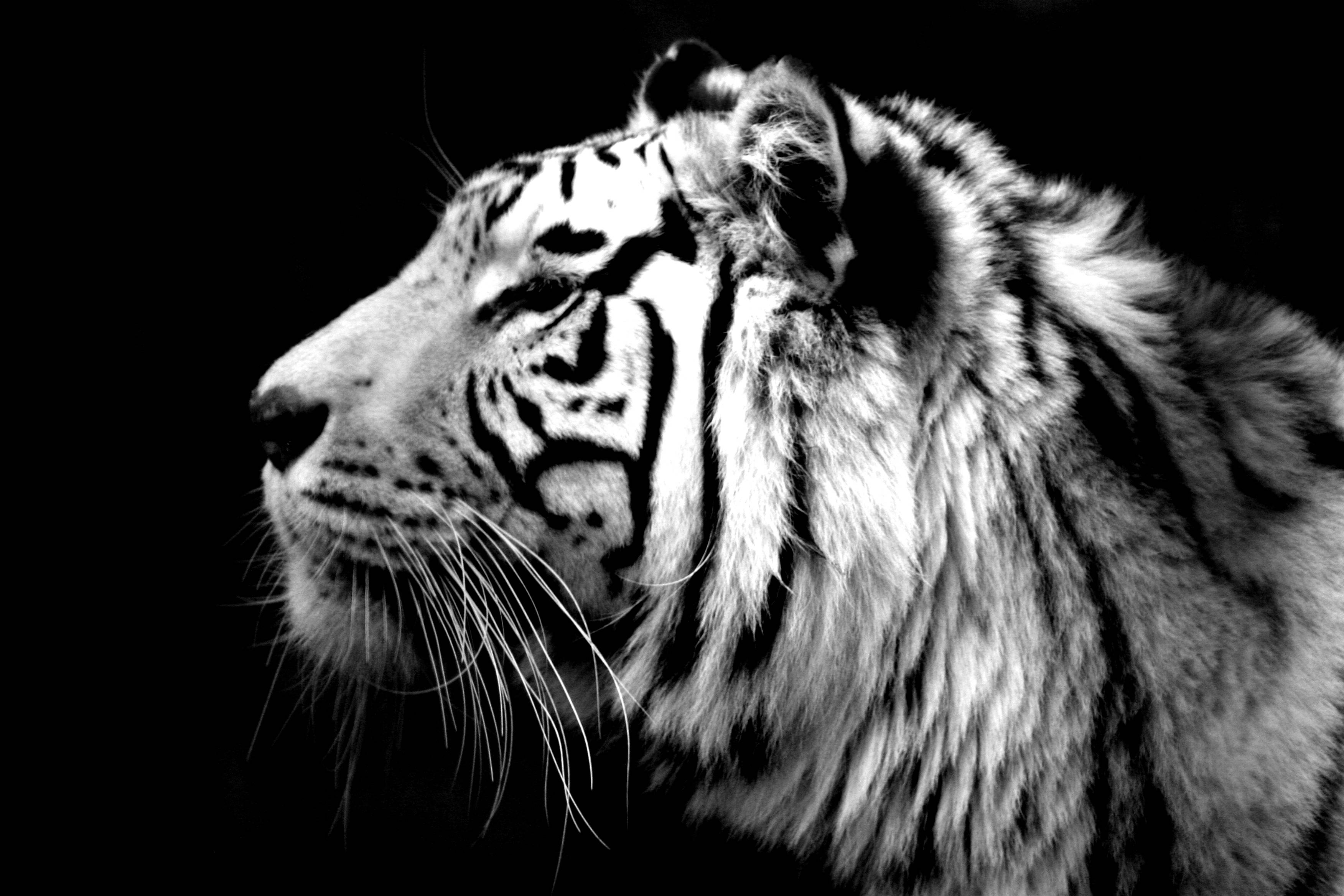 Tiger Wallpaper Black And White Posted By Michelle Simpson