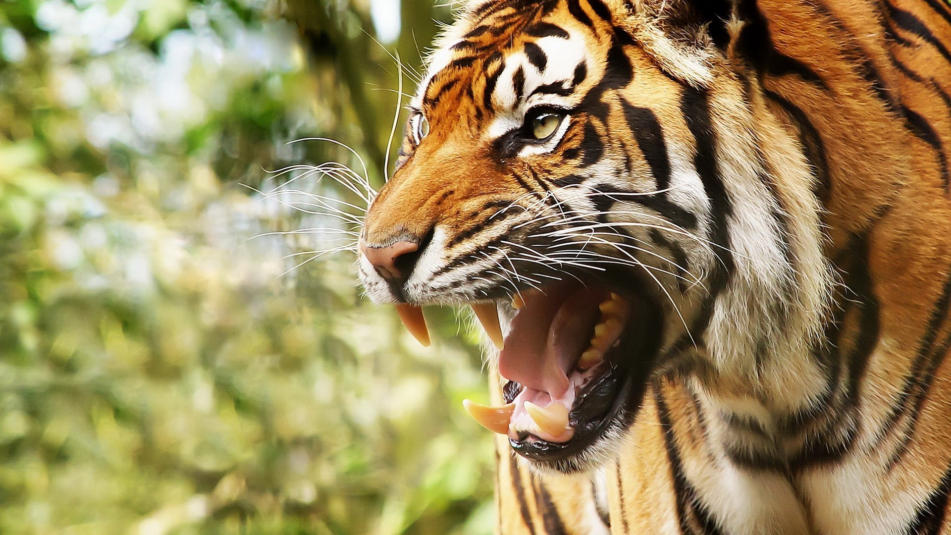 Tigers Images Hd Posted By Sarah Simpson