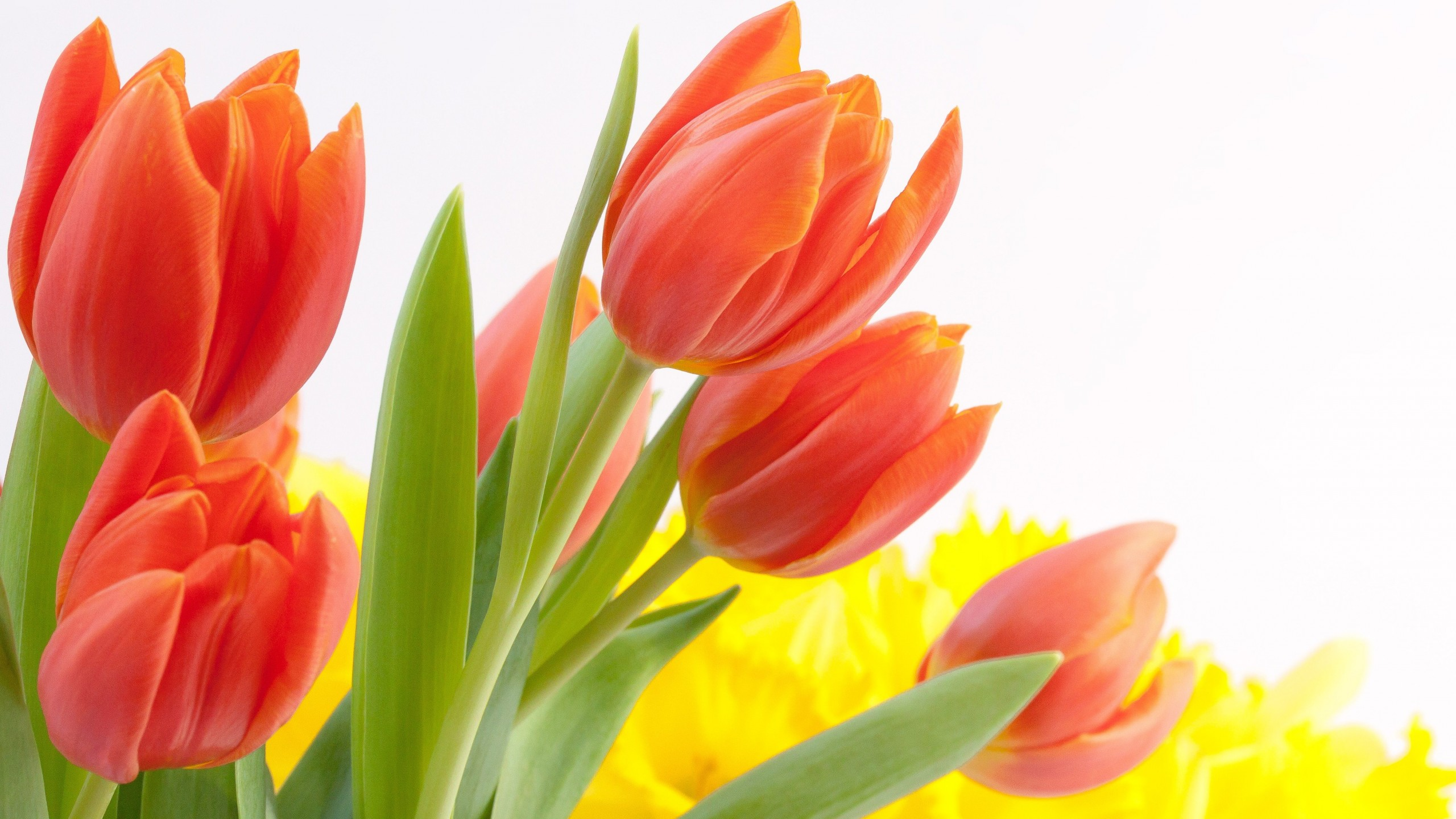 Tulips Flowers Wallpapers Posted By Samantha Johnson