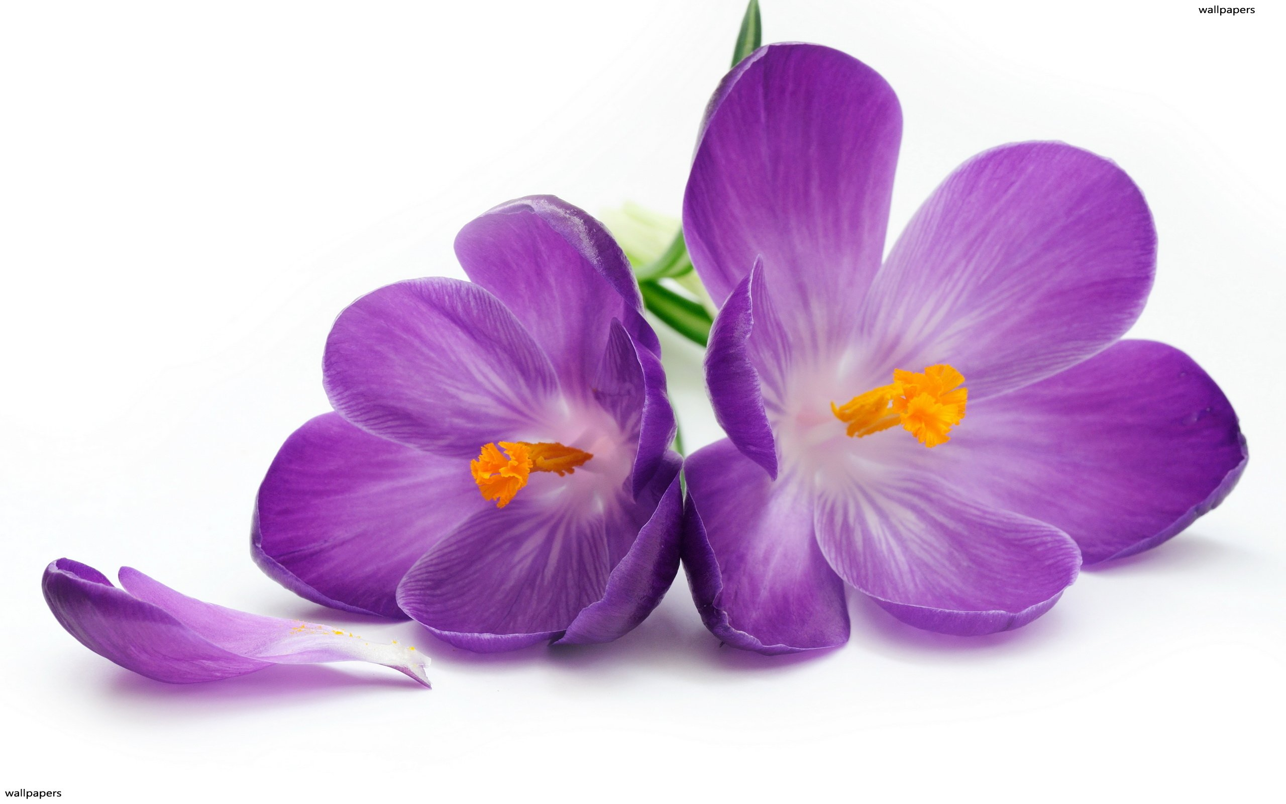 Violet Flowers Wallpaper Posted By Ryan Mercado