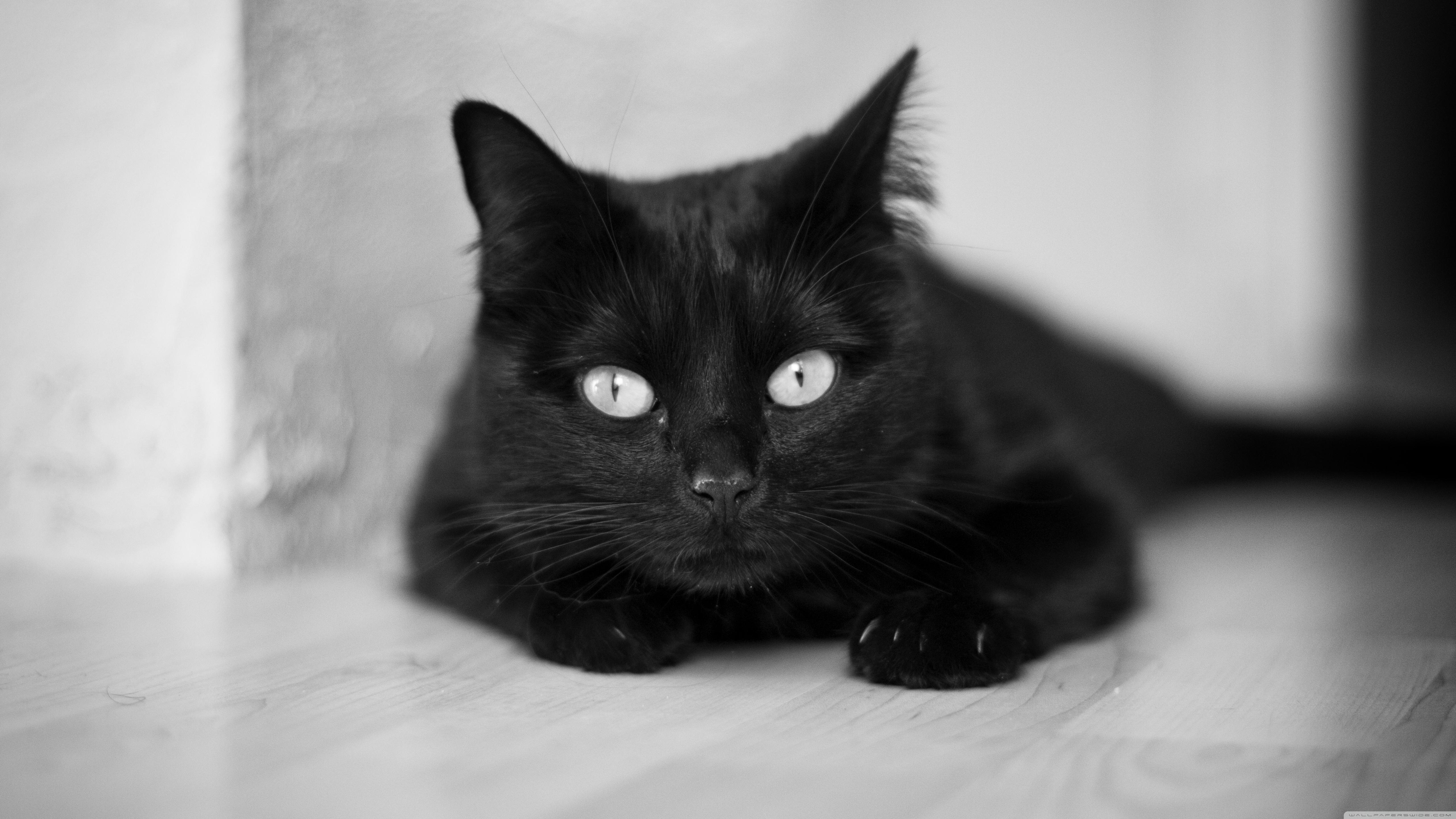 Hdwallpapers87.com Download Black Cat Desktop Wallpaper