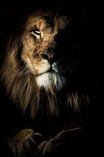 Wallpaper Black Lion Posted By John Cunningham