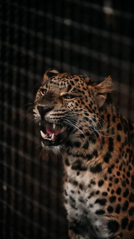 Wallpaper Iphone Black Cheetah