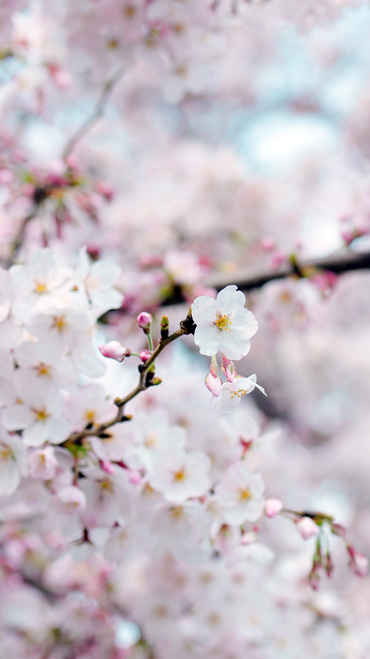 Wallpaper Cherry Blossom Posted By Samantha Cunningham