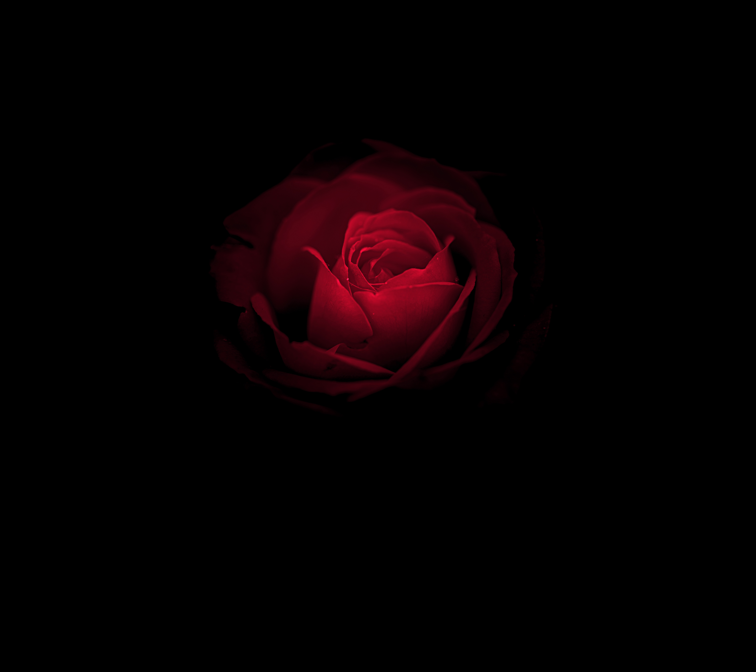 Wallpaper Of Rose Posted By Christopher Peltier