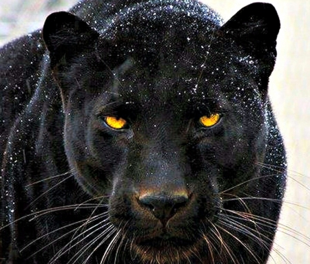 Wallpaper Panther Posted By Sarah Anderson