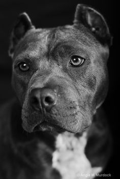 Wallpaper Pitbull Posted By Ethan Anderson