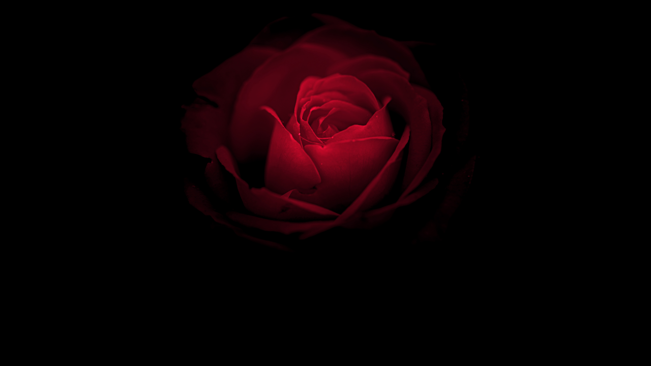 Wallpaper Red Rose Posted By Michelle Mercado
