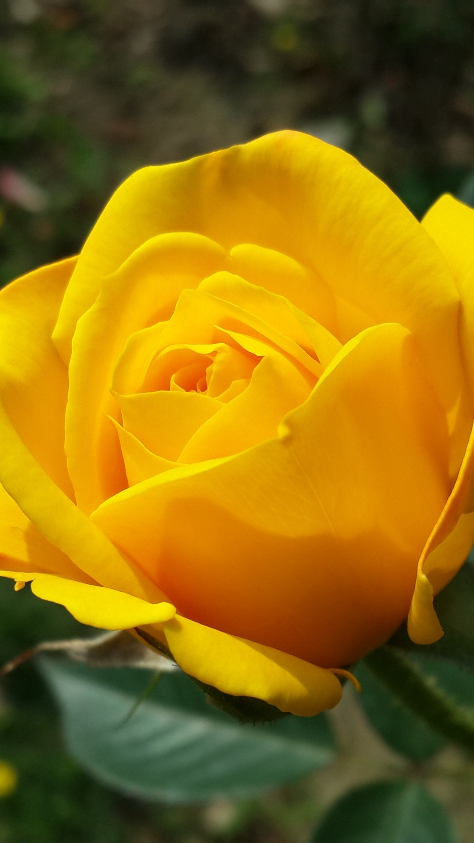 Wallpaper Yellow Rose Posted By Sarah Johnson