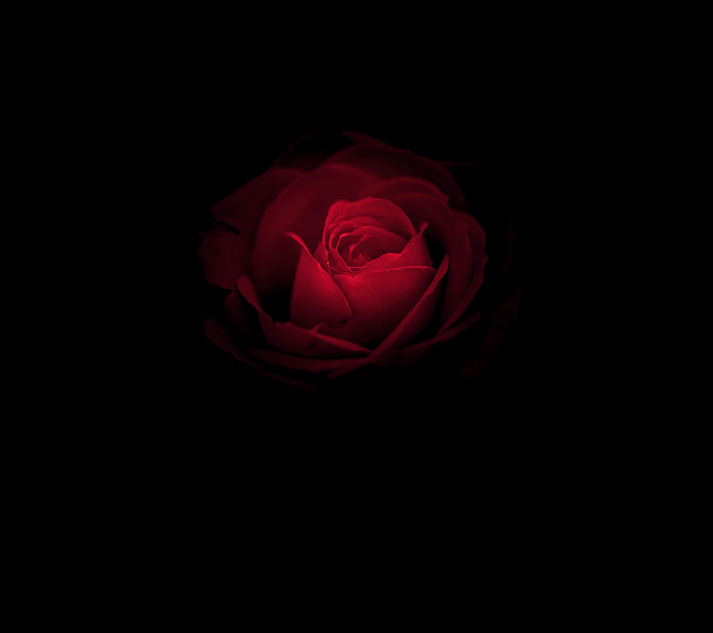 Wallpaper Rose flower, Red Rose, Huawei Mate RS, Porsche