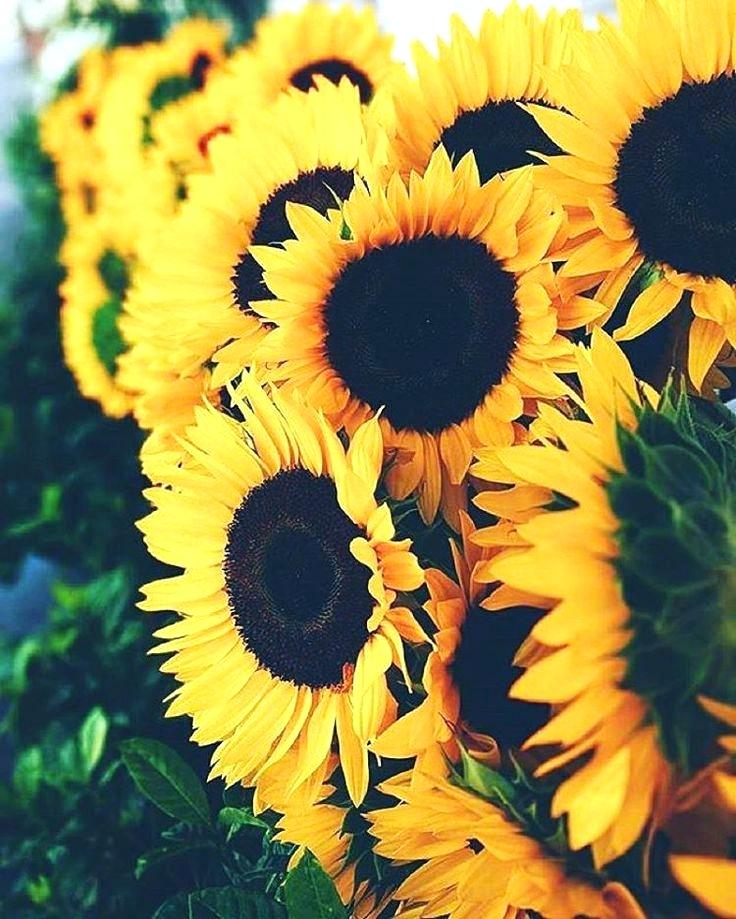 Wallpapers Sunflowers Posted By Ryan Cunningham