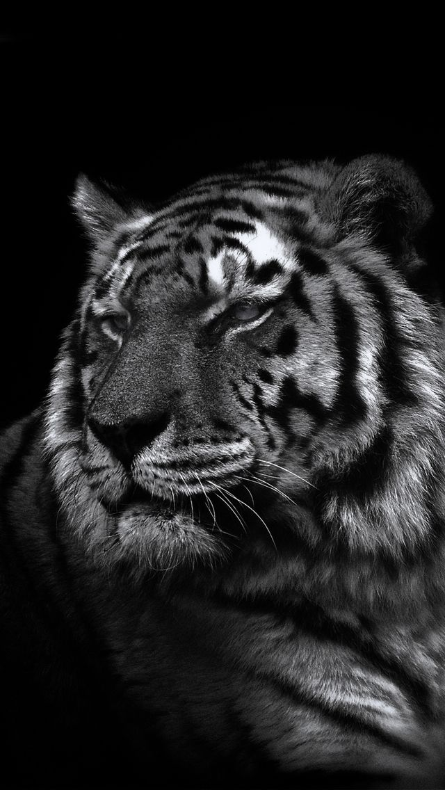Wallpapers Tiger Posted By Ryan Thompson