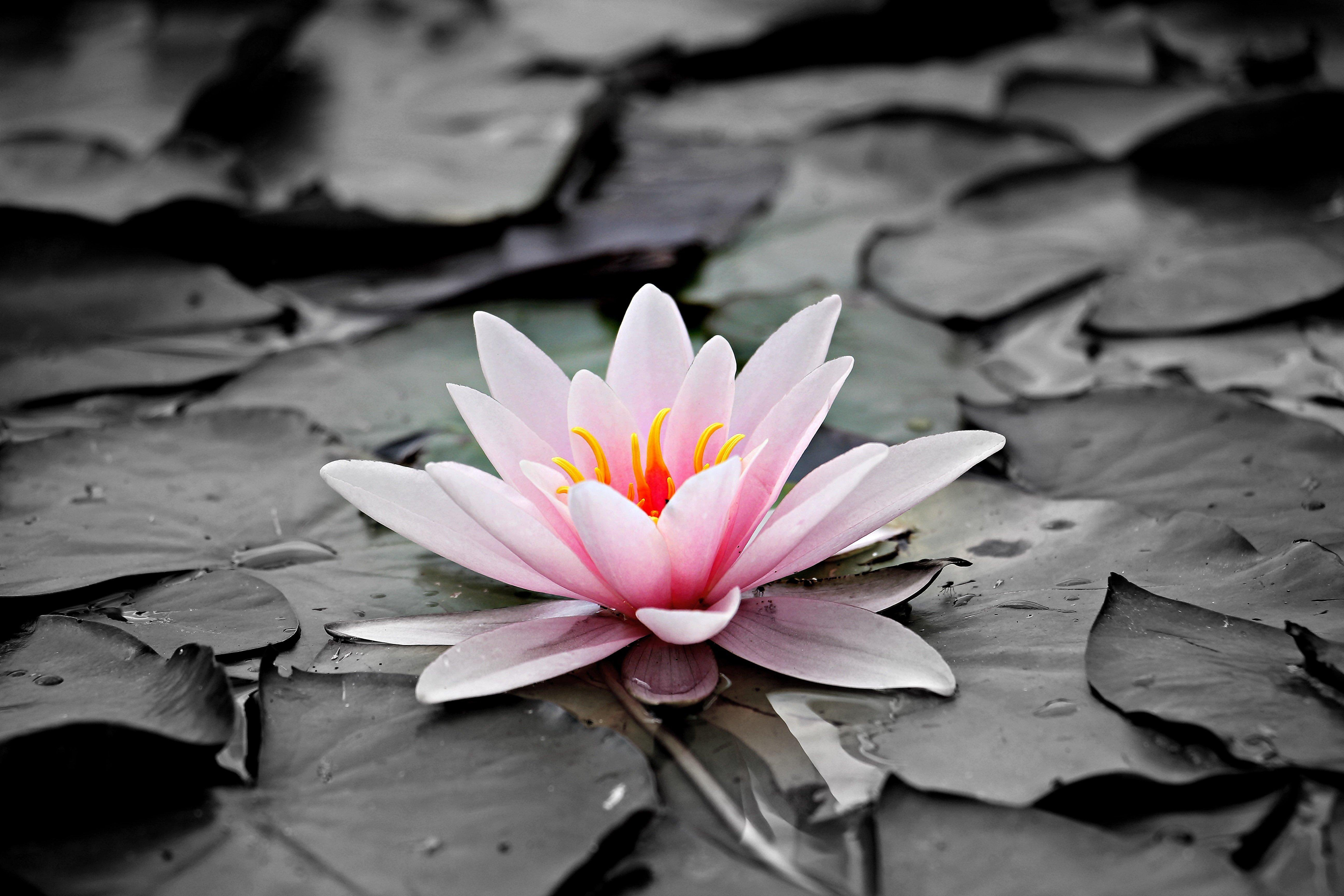 Water Lily Wallpapers Posted By Ryan Sellers