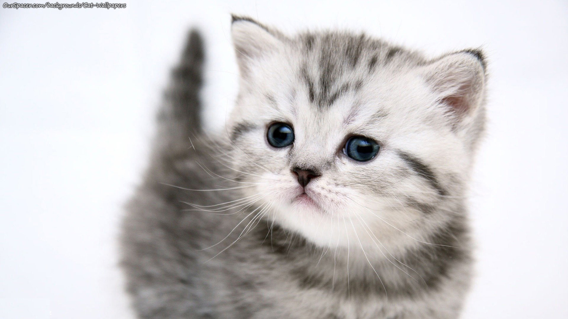 White Baby Cat Wallpaper Posted By Ethan Tremblay