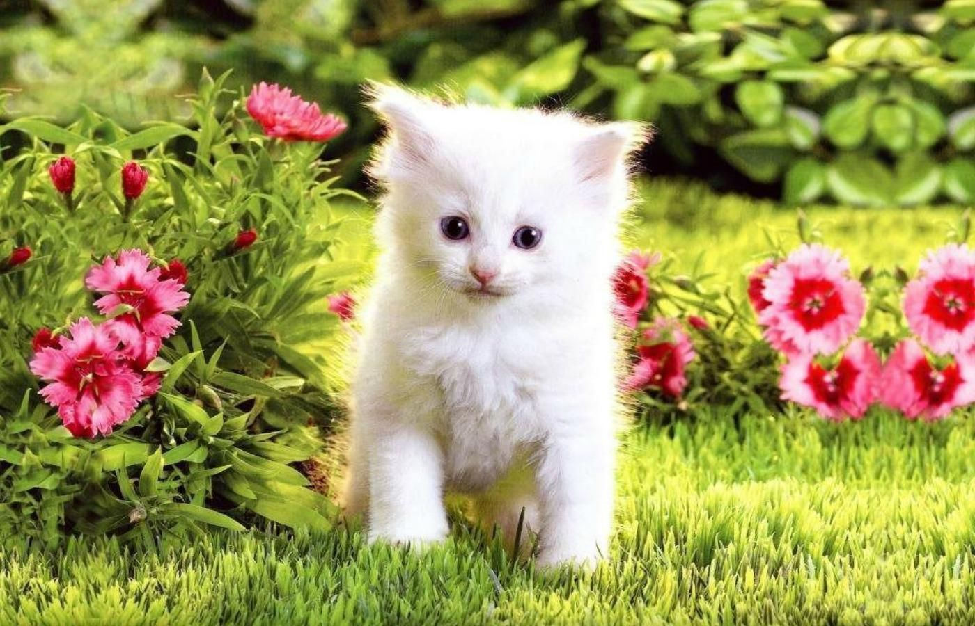 White Cats Wallpaper Posted By Christopher Simpson