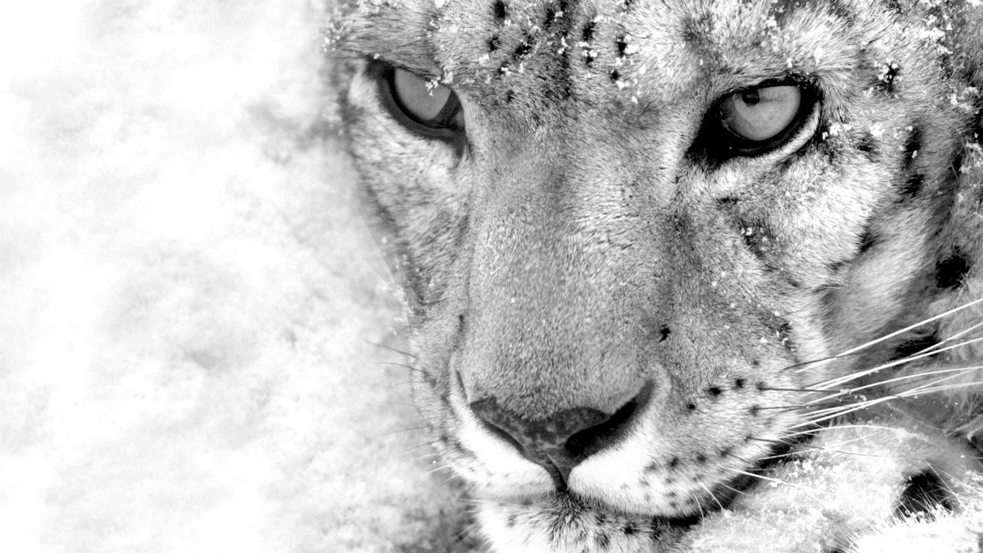 White Leopard Wallpaper Posted By Christopher Sellers