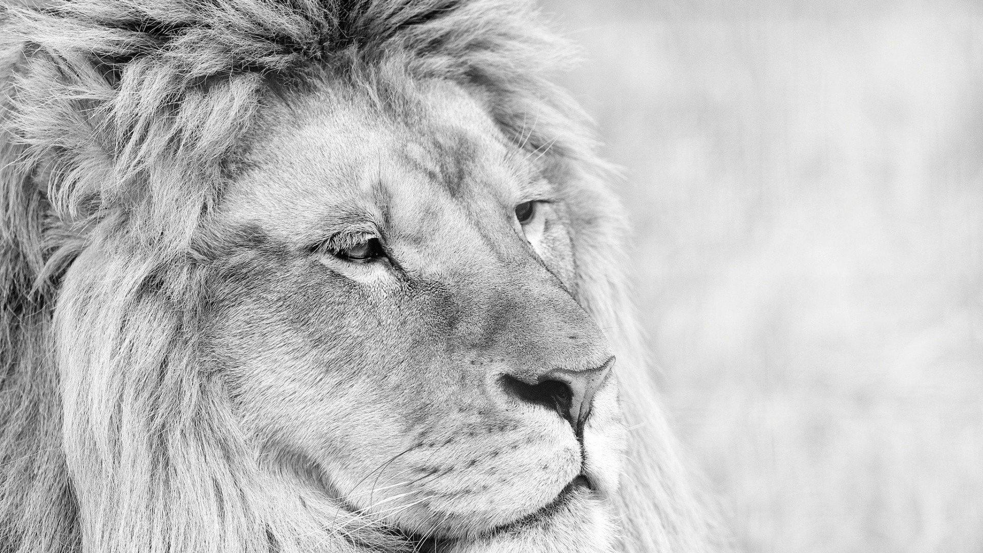 White Lion Wallpaper Hd Posted By Michelle Anderson