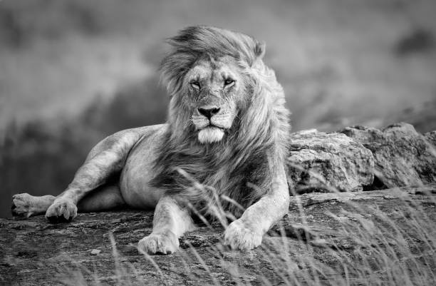 White Lion Wallpaper Posted By Christopher Peltier