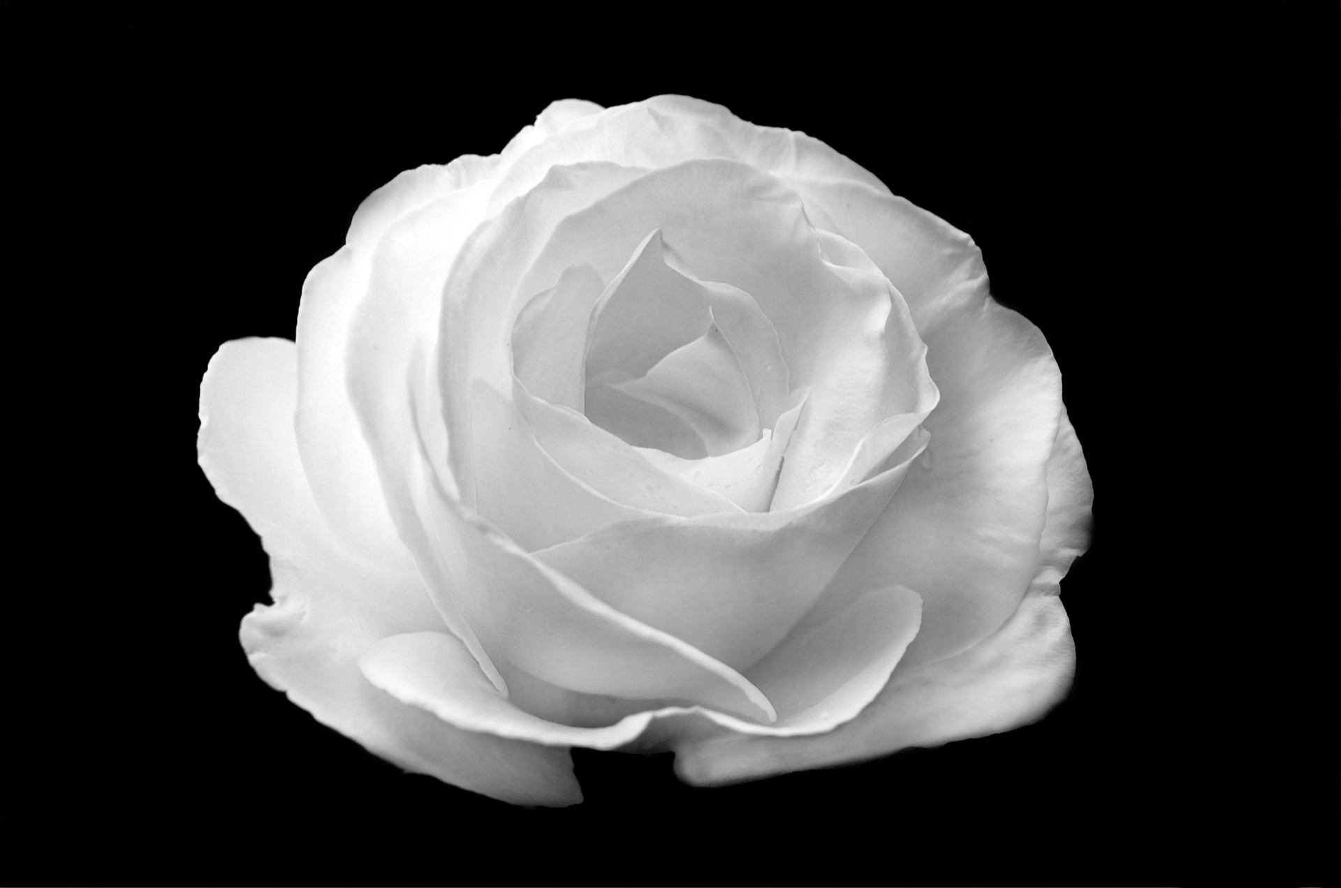 Black and White Rose Wallpaper 61+ images