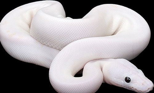 White Snake Images Posted By Christopher Walker