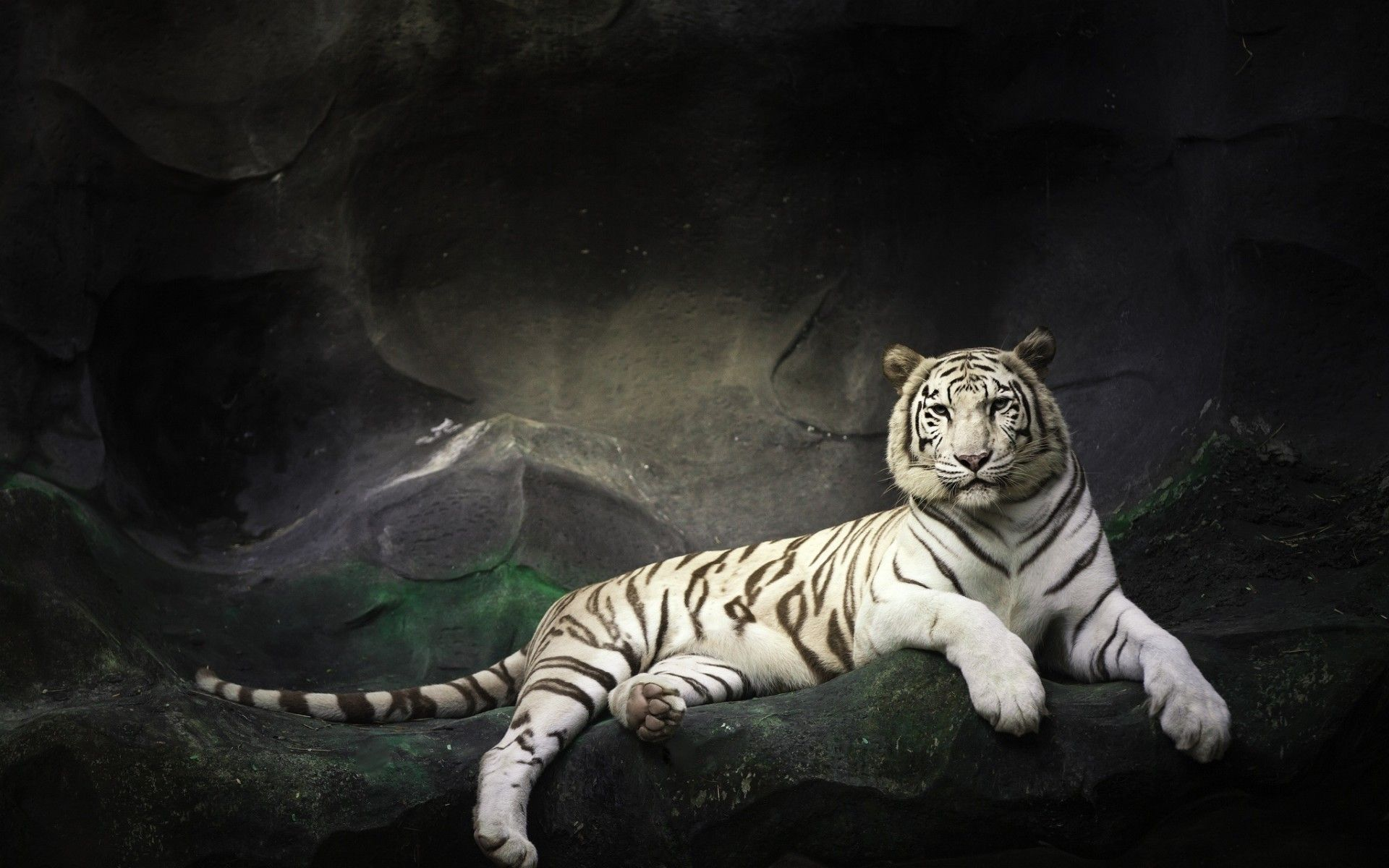 Free download Hd White Tiger Wallpaper 1920x1200 for your
