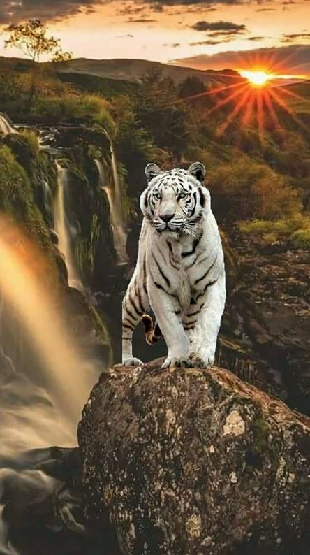 White Tiger Screensaver Posted By Sarah Walker