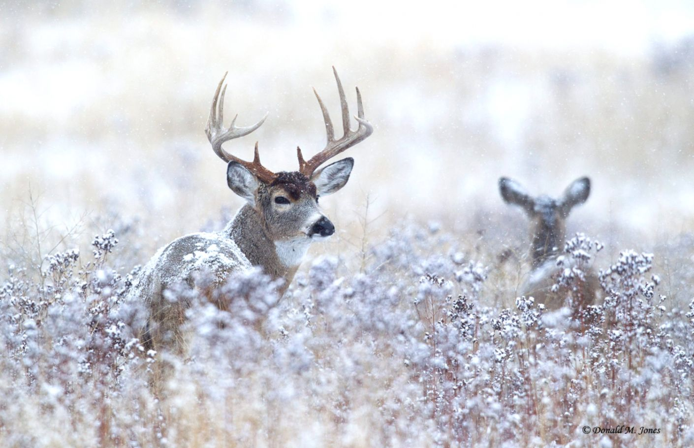 Whitetail Deer Wallpapers Posted By Samantha Peltier