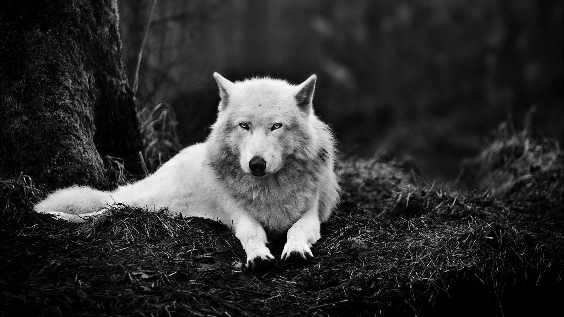 Wolf Hd Wallpaper Iphone Posted By Sarah Anderson
