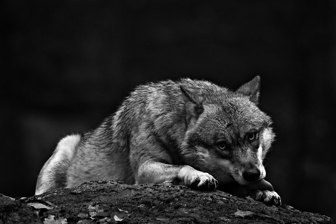 Wolf Wallpaper Hd 1080p Posted By Sarah Tremblay